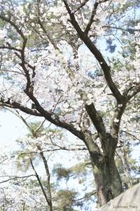 出張撮影・ホームページ制作・グラフィックデザイン制作を西宮・神戸・大阪・芦屋・宝塚で行っているLighthouse PhotoのPhotographer YUSUKEが撮影した兵庫県西宮市夙川の桜-2