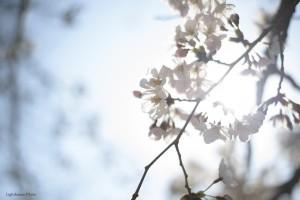 出張撮影・ホームページ制作・グラフィックデザイン制作を西宮・神戸・大阪・芦屋・宝塚で行っているLighthouse PhotoのPhotographer YUSUKEが撮影した兵庫県西宮市夙川の桜-1